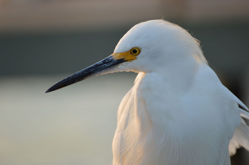 Close-Up Of Little Egret