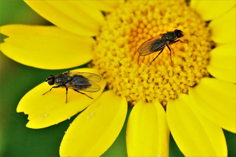 Animal Themes Animal Wildlife Animals In The Wild Beauty In Nature Bee Close-up Day Flower Flower Head Fragility Freshness Growth Housefly Insect Nature No People One Animal Outdoors Petal Plant Pollen Yellow