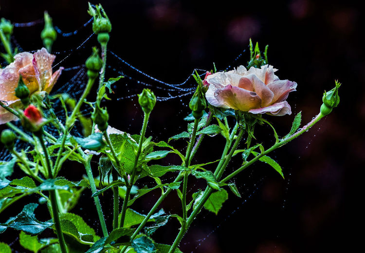 Spider's Webs After The Rain Close-up Flower Flower Head Flowering Plant Green Color Growth Inflorescence Nature Outdoors Plant Roae In The Rain Rose - Flower Spider's Webs Water Wet Flowers Wet Rose