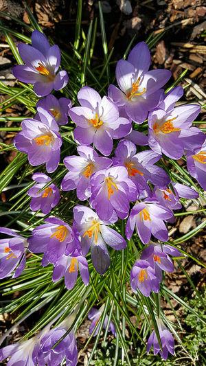 High angle view of purple crocus flowers