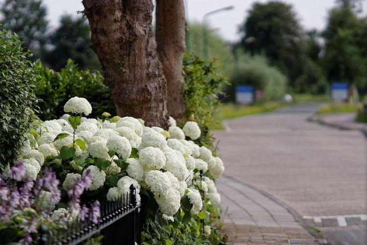 White Flowers Hortensia Flowers,Plants & Garden Dutch Countyside