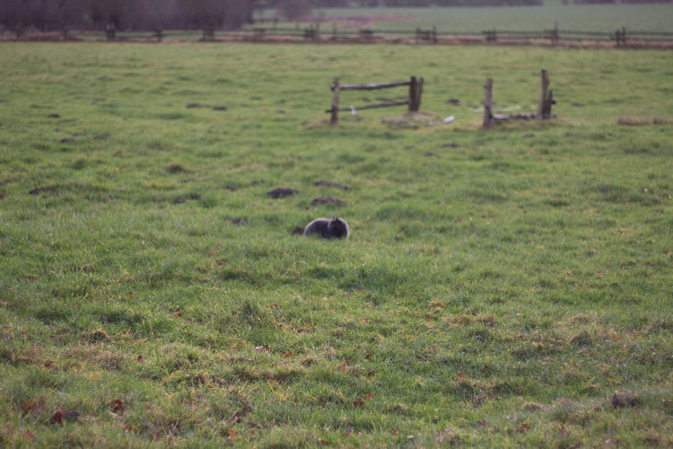 View of a sheep on grassy field