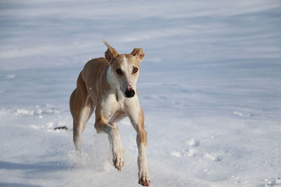 brown galgo is running in the snow Español Field Funny Galgo Galgo Español. Spanish Winter Action Active Animal Themes Day Dog Domestic Animals Fast Galgoespañol Garden Greyhound Mammal Outdoors Park Sighthound Sky Snow Sport Whippet