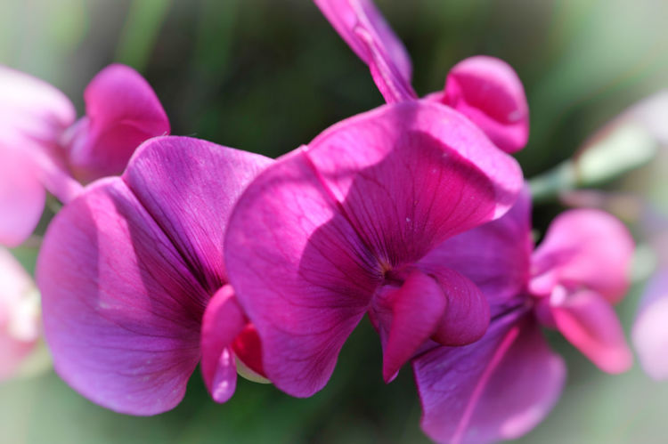 Macro Photography Beauty In Nature Blossom Close-up Day Flower Flower Head Flowering Plant Focus On Foreground Fragility Freshness Inflorescence Macro Nature No People Outdoors Petal Pink Color Plant Purple Selective Focus Sweetpea Flowers Vulnerability