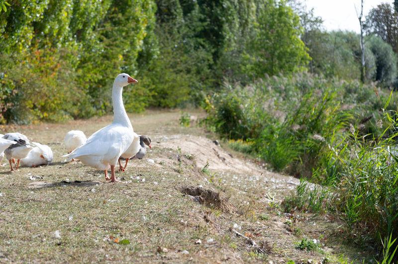 Gooses at