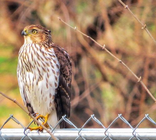 Stunning young Cooper's Hawk hanging out on my fence in the yard.. Raptor Raptors Birdsofprey Check This Out Bird Photography Birdwatching Twenty20 NoPeopleAround From My Point Of View Birds_collection Nature_collection Nature Photography Mybackyard Showcase:December Nature_perfection Beauty In Nature Godscreation God's Beauty Birds Of EyeEm  Blessed  Enjoying Life GodBless and Muchlove to Myfriends Ciao ❤️❤️💤😘😘