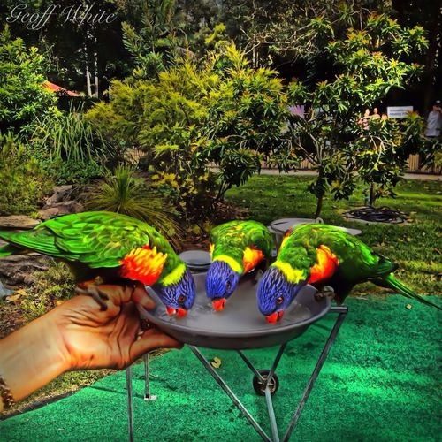 Feeding the birds at Currumbin Sanctuary, Gold Coast