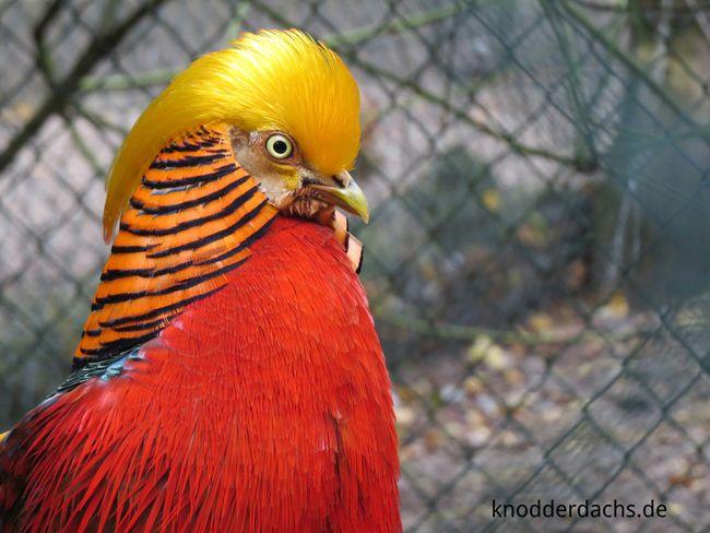Ein wunderschöner Goldfasan. Als er die Kamera gesehen hat, ist er direkt zu mir gelaufen, um sich fotografieren zu lassen :) Golden Pheasant