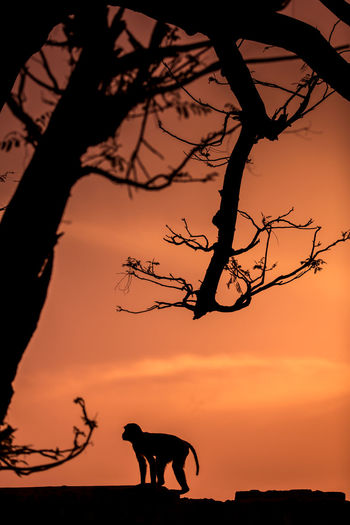 India Indian Rhesus Macaque Animal Animal Themes Animal Wildlife Bare Tree Beauty In Nature Branch Evening Macaque Mammal Monkey Nature No People One Animal Orange Color Outdoors Rhesus Silhouette Sky Sunset Tree Vertebrate Wildlife The Great Outdoors - 2018 EyeEm Awards