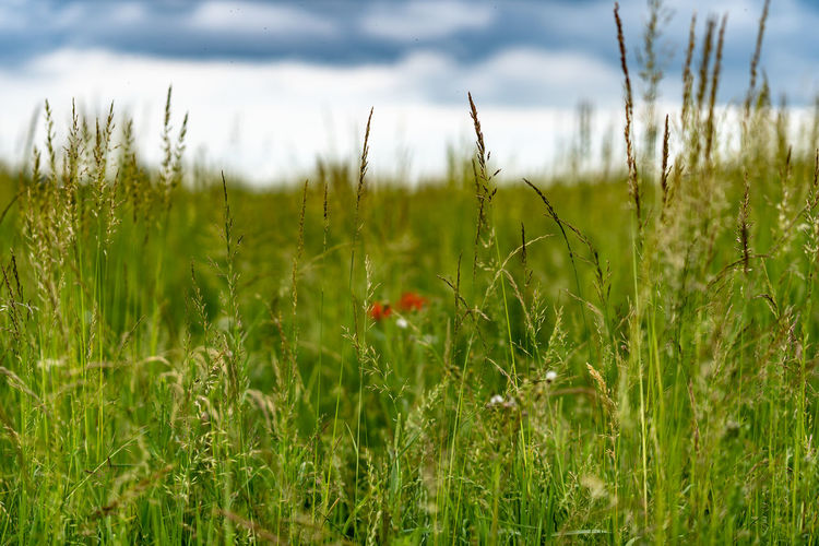 defocussed poppies Bokeh Photography Bokeh Calm Grass Rural Scene Dramatic Sky Summer Summertime Red Rural Scene Close-up Sky Grass Poppy Wildflower Blooming Uncultivated In Bloom Flora