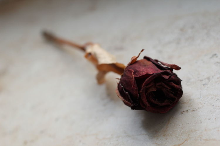 Close-up of dried rose over white background