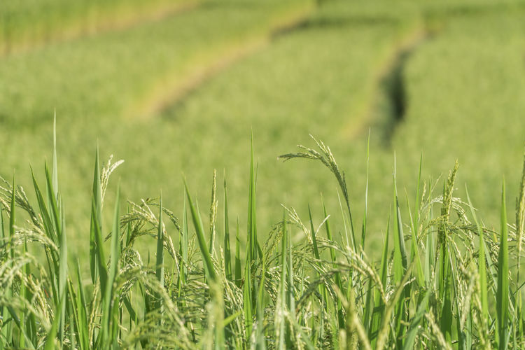 Rice Rice Rice Paddy Rice Field Backgrounds Plant Green Color Growth Field Land Landscape Agriculture Rural Scene Tranquility Nature Beauty In Nature Crop  No People Environment Grass Farm Selective Focus Cereal Plant Tranquil Scene Day Outdoors Plantation