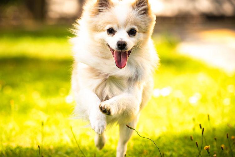 Cute pomeranian dog runs towards the camera