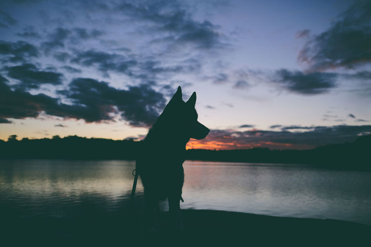 Silver Sky Water Silhouette Cloud - Sky Scenics - Nature Tranquil Scene Beauty In Nature Nature Siberian Husky Fujifilm X-H1 Sunset Solnedgång Hund Dog Husky Life Taking Photos Animal Fujifilm Kungshamn Sweden Sverige Bohuslän The Sea Havet Husky