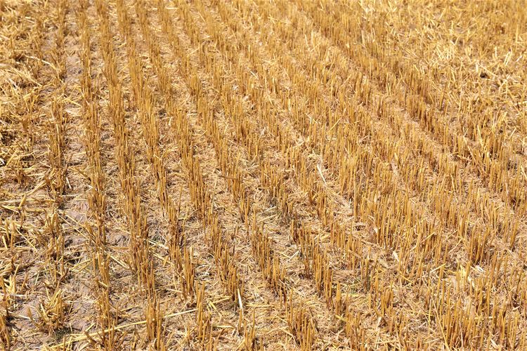 Backgrounds Day No People Growth Full Frame Tranquility Cereal Plant Plant Farm Rural Scene Agriculture Field Landscape Land Crop  Nature Wheat Brown Outdoors Stalk