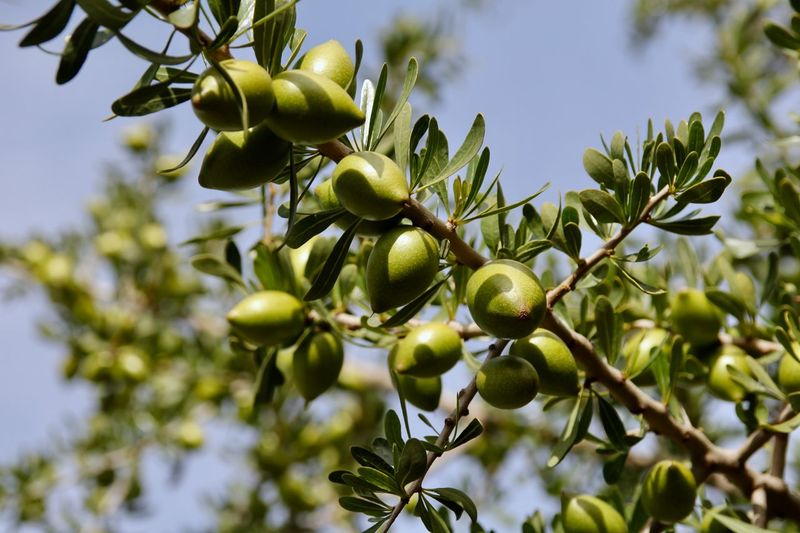Low angle view of  argan fruits on tree against sky