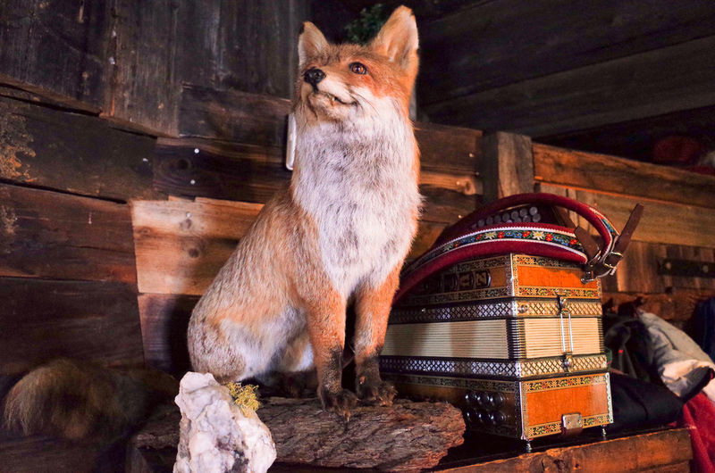 Interior Views Stuffed Accordeon Animal Animal Themes Cabin Day Domestic Animals Domestic Cat Feline Fox Hut Indoors  Mammal No People One Animal Pets Sitting Standing Wood - Material