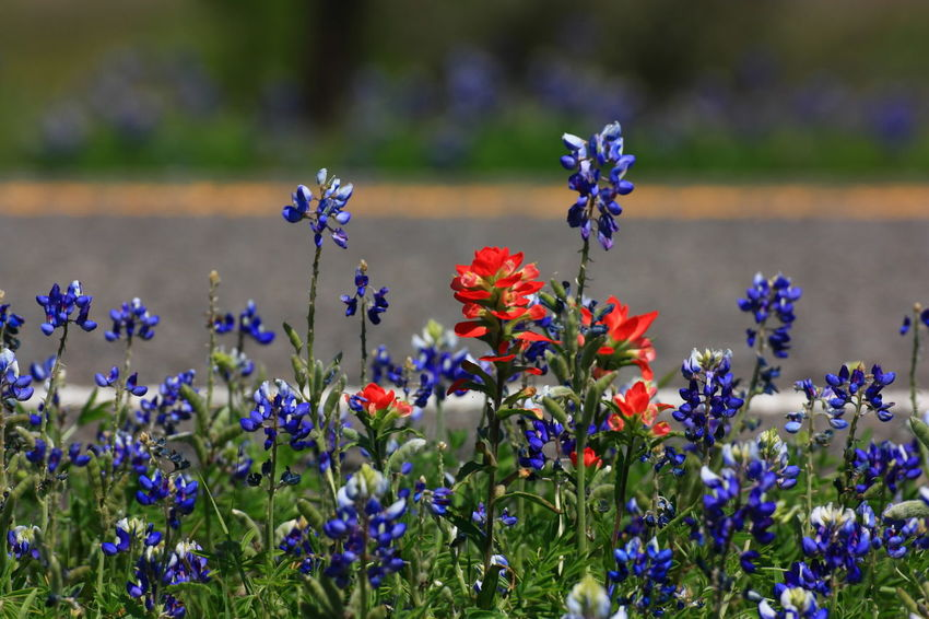 Beauty In Nature Bluebonnets Close-up Day Flower Flower Head Focus On Foreground Fragility Freshness Growth Indian Paintbrush Multi Colored Nature No People Outdoors Plant ROADSIDE TEXAS Spring Flowers Wildflowers