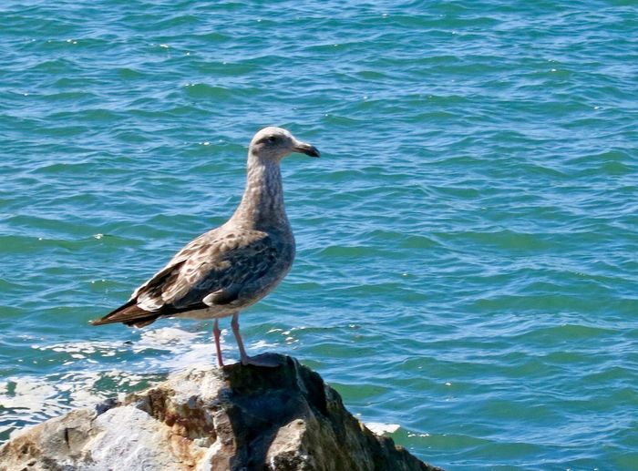 Single seagull standing on rock by Pacific Ocean at Mission Bay in San Diego, California Mission Bay San Diego Gull Seabird Ocean Seagull Bird Animals In The Wild Animal Themes Animal Wildlife One Animal Day Nature No People Outdoors Sea Perching Water Beak Beauty In Nature Close-up California Dreamin