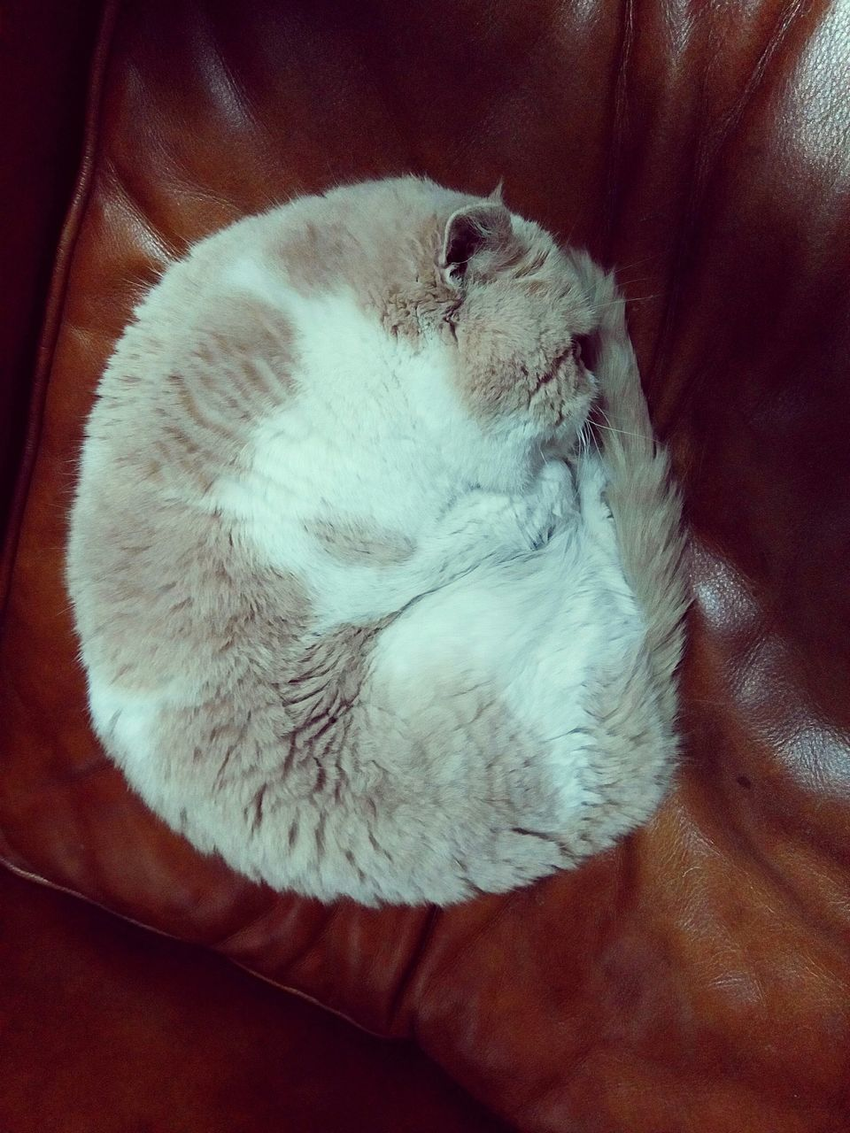 mammal, pets, domestic, domestic animals, animal, one animal, animal themes, relaxation, cat, domestic cat, sleeping, indoors, feline, vertebrate, resting, high angle view, no people, lying down, eyes closed, comfortable, whisker, napping