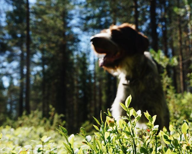 Forest Blurry Background Close-up German Pointer German Wirehaired Pointer One Animal Animal Themes Dog Canine Pets Plant Tree Focus On Foreground Nature