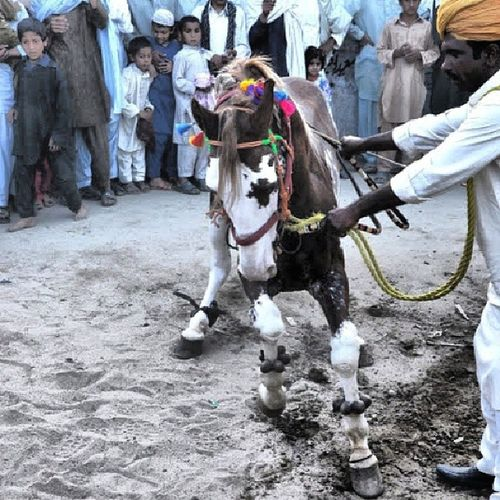 Horse dance in Omair's wedding Horse Horsedance Swabi Peshawar pakistan culture pet wedding picoftheday pictureoftheday dodher