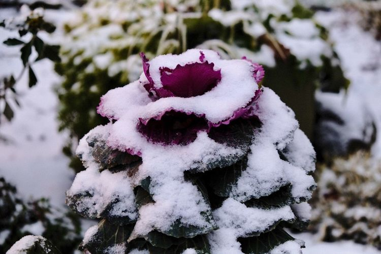 Succulent Plant Winter Cold Temperature Snow Focus On Foreground Plant Day Close-up White Color Nature Frozen Covering