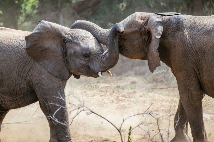 Close-up of elephants fighting at zoo