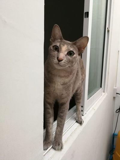 Cat Cat Thailand :) Animal One Animal Domestic Cat Mammal Pets Looking At Camera Cute