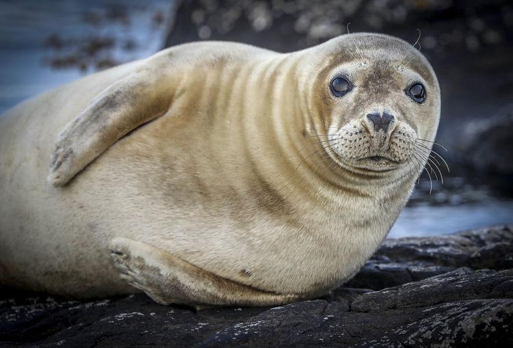 Portrait of seal lying on rock