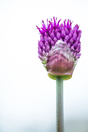Close-up of purple flower against white background