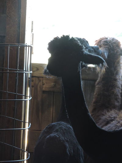 After shearing alpaca's necks seem pencil thin. Alpaca Farm Animal Themes Close-up Day Domestic Animals Livestock Low Angle View Mammal Nature No People One Animal Outdoors Shearingtime Sky