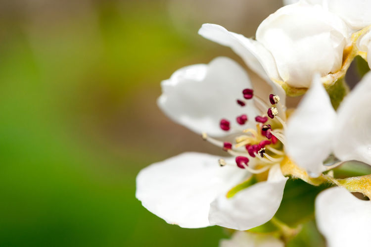 Close up of white pear tree blossom Pear Tree Blossoms Pear Blossom Beauty In Nature Blooming Blossom Close-up Flower Flower Head Freshness Growth Macro Nature No People Outdoors Pear Pear Tree  Petal Plant Selective Focus Spring Springtime Springtime Blossoms White Color White Pear Blossom