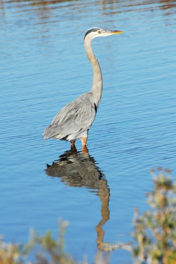 Gulf Shore Bird Reflects Ocean Bird Nature No People Fishing Standing Water Animal Wildlife Animal Animals In The Wild Vertebrate Bird Animal Themes