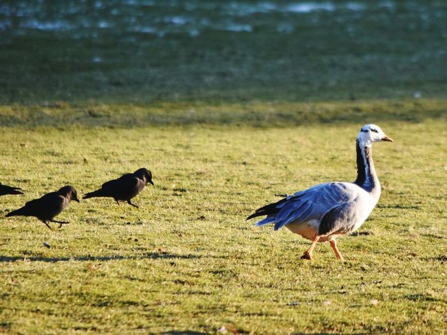 Goose Jackdaws Birds Grass Animal Themes Sunlight Park Wintertime Following Tour Group Guide ?? Maybe the goose should be carrying an umbrella so the tour group can find her