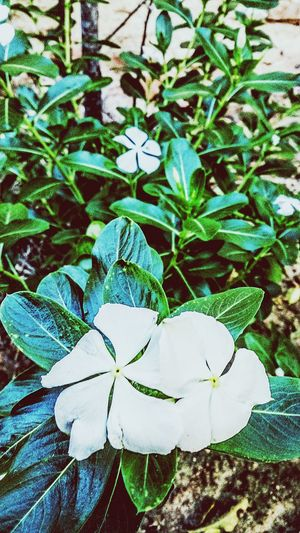 Flowerlovers Flowerporn White Flower White Flowers Leaves Green Leaves Flowers My Photography Nature Everywhere Beautiful Nature