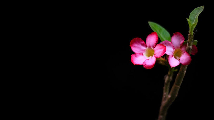 Beauty In Nature Black Background Botany Close-up Copy Space Flower Flower Head Flowering Plant Fragility Freshness Growth Indoors  Inflorescence Nature No People Petal Pink Color Plant Studio Shot Vulnerability