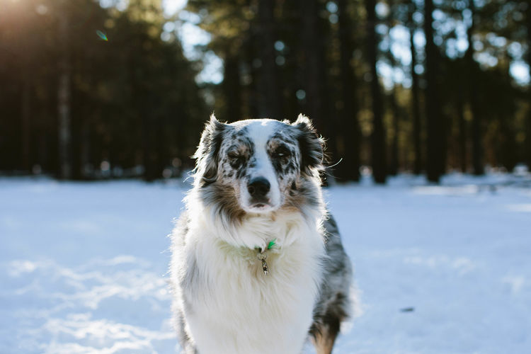 Adventure Animal Animals Center Focus Dog Dogs Dogs Of EyeEm Domestic Animals Exploring Nature Outdoors Pet Pets Shepherd Shepherd Dog Snow Sun Flare Wilderness Winter