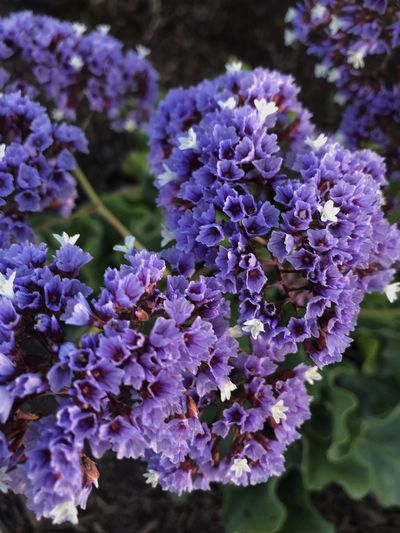 Flowering Plant Flower Vulnerability  Fragility Freshness Plant Purple