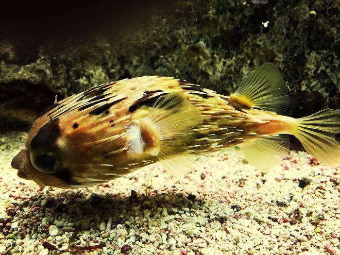 Pufferfish Aquarium Taking Photos Nature