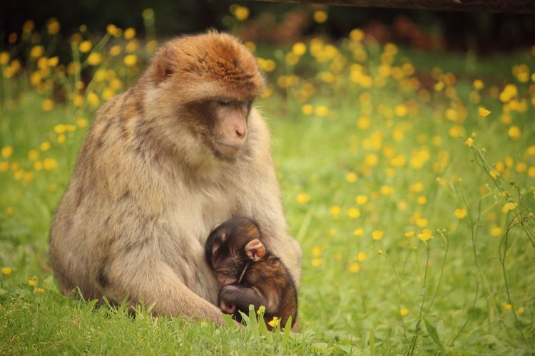 Affenberg Salem Baby EyeEmNewHere Family Love Animal Family Animal Themes Animal Wildlife Animals In The Wild Baboon Close-up Day Focus On Foreground Grass Infant Mammal Monkey Nature No People Outdoors Sitting Togetherness Two Animals Young Animal