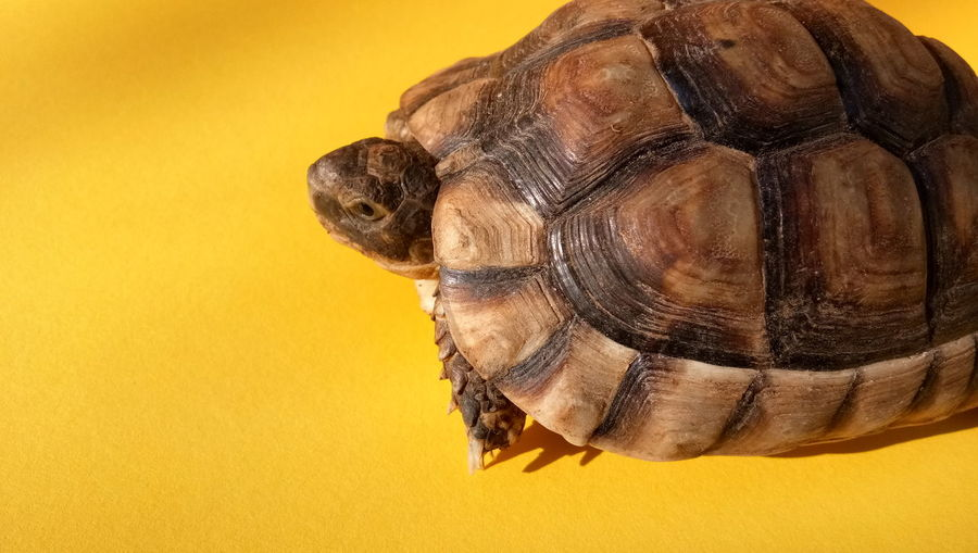 Turtle EyeEm Selects Yellow Background Yellow Colored Background Studio Shot Tortoise Shell Textured  Close-up