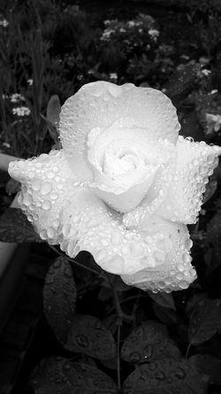 Cream RoseBlackandwhite Raindropsonflowers Flowers,Plants & Garden
