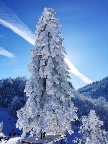 blue sky and white earth Shades Of Winter Snow Winter Cold Temperature Tree Nature Pinaceae Mountain