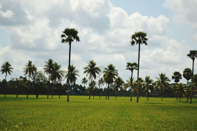 Panoramic view of palm trees on field against sky
