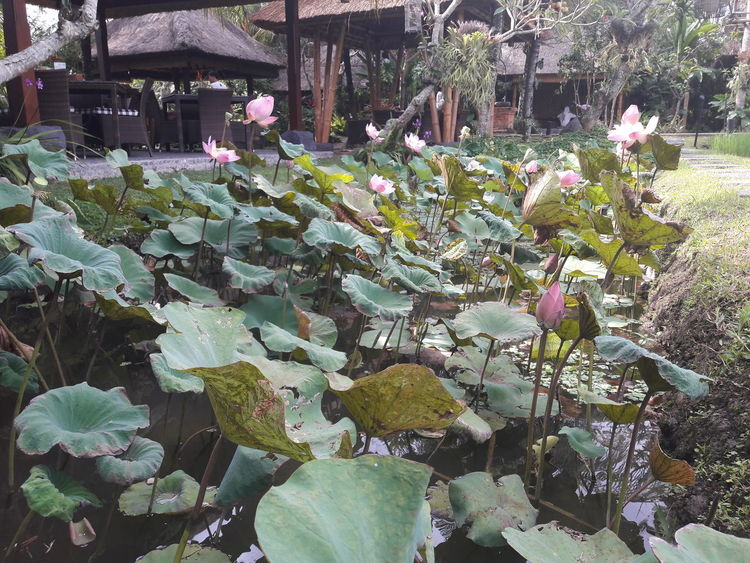 Lotus Lotus Water Lily Lotus Effect Lotus Leaf Lotus Field Lotus Leaves Lotuspond Lotus Lake Lotus Position Lotus♥ Lotus Root Lotus Seeds Lotus Blossom Lotus Garden Lotus Seedpod Lotusflower Lotus Flower Lotus Collection Lotus Flowers Lotus Pond Flower Head Lotas Flower Lotus Seed Lotus Flower Water
