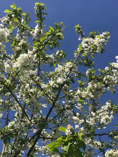 Plant Growth Tree Beauty In Nature Low Angle View Flower Flowering Plant Sky Branch Blossom