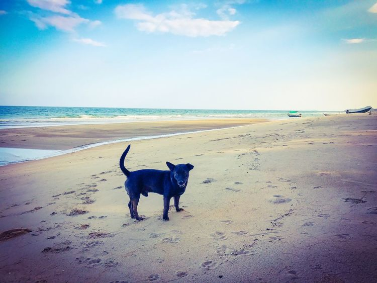 A black dog on tropical sandy beach in Thailand Sea Beach Animal Themes Pets Domestic Animals Dog One Animal Horizon Over Water Sand Sky Mammal Shore Nature Scenics Water Beauty In Nature Outdoors Tranquility Tranquil Scene No People Thailand Thai Day Cloud - Sky Sunset