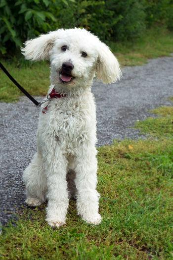 White dog White