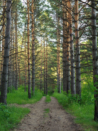 Track in the pine forest. Beauty In Nature Day Direction Environment Footpath Forest Growth Land Nature No People Non-urban Scene Outdoors Pine Woodland Plant Scenics - Nature Siberia The Way Forward Trail Tranquil Scene Tranquility Tree Tree Trunk Treelined Trunk WoodLand